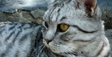 sochinenie-pro-kota